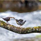 Wasseramsel mit Jungvogel