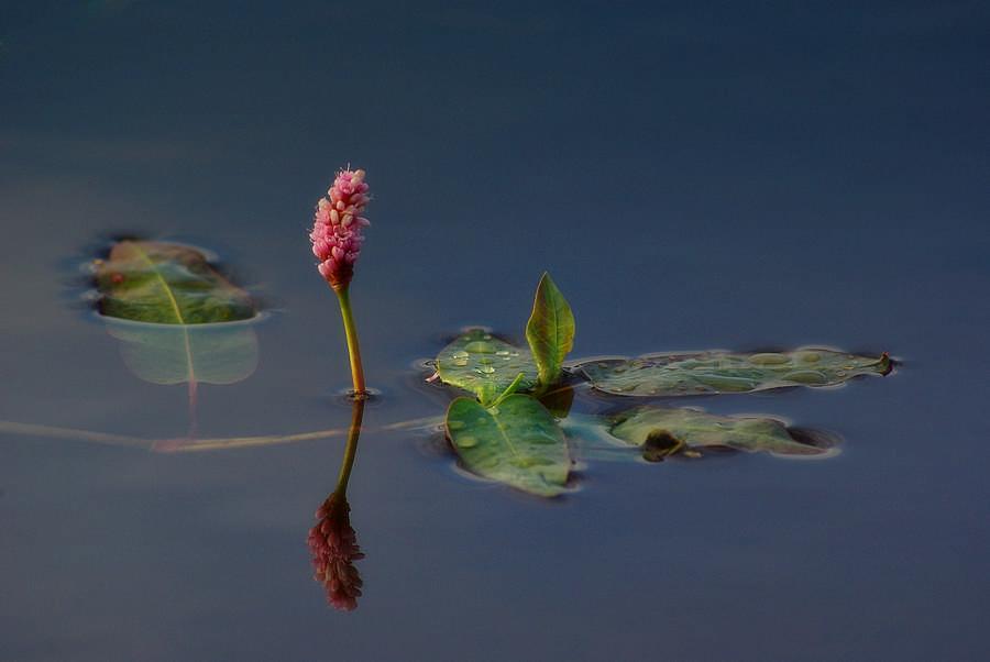 Wasserblume 1