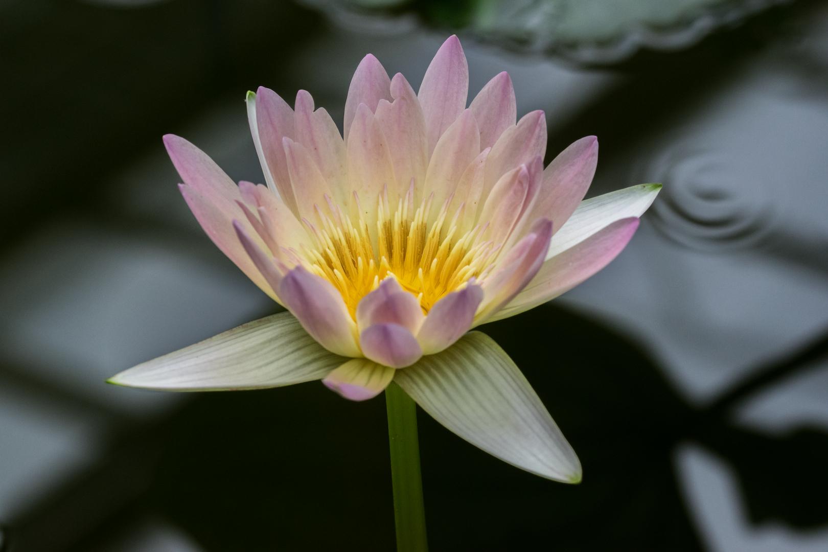 Wasserblume Foto Bild Pflanzen Pilze Flechten Blüten