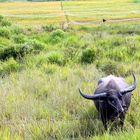 Wasserbüffel auf Samosir Island