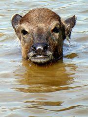 Wasserbüffel Kind beim Baden