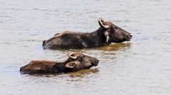 Wasserbüffeln
