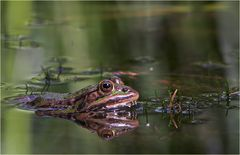 Wasserfrosch, Rana esculenta