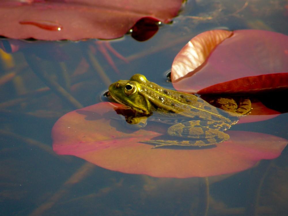 Wasserfrosch sonnt sich