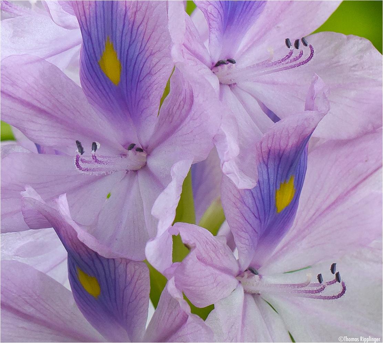 Wasserhyazinthe (Eichhornia crassipes)...