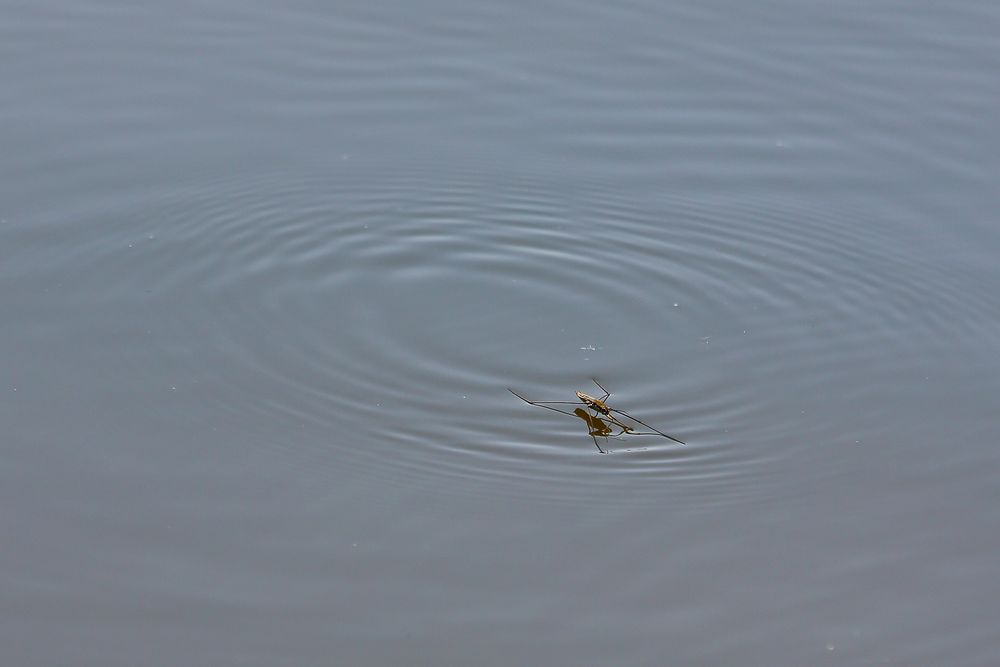 Wasserläufer (Gerridae)