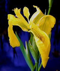 Wasserlilie (gelb)