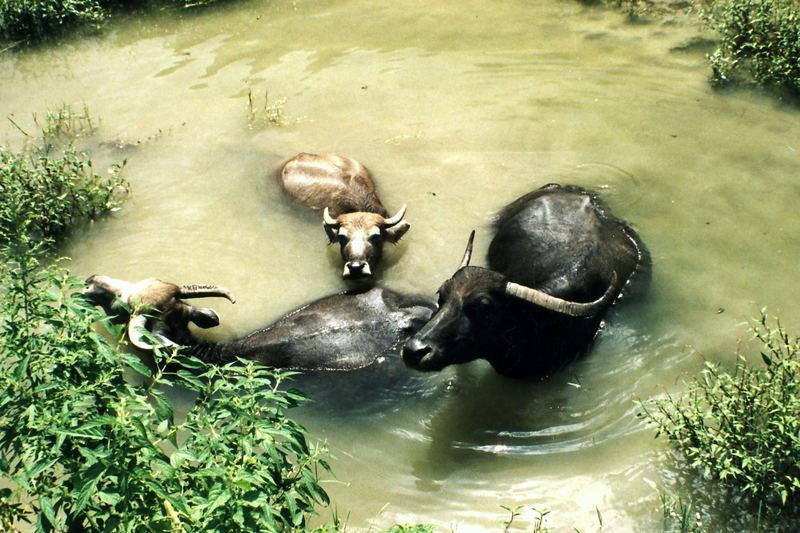 Wasserplantschbüffel