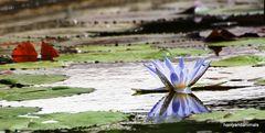 Wasserrose in Blau