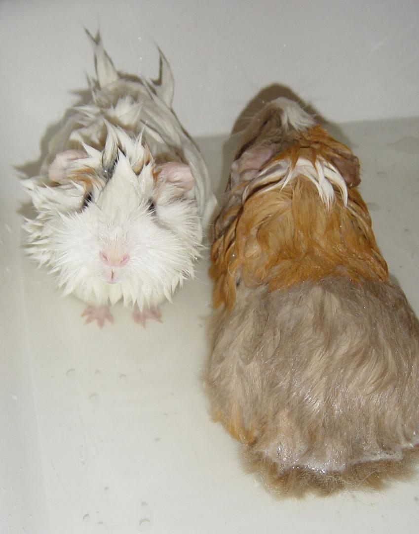 wasserscheue MEERschweinchen
