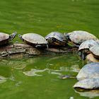 Wasserschildköten