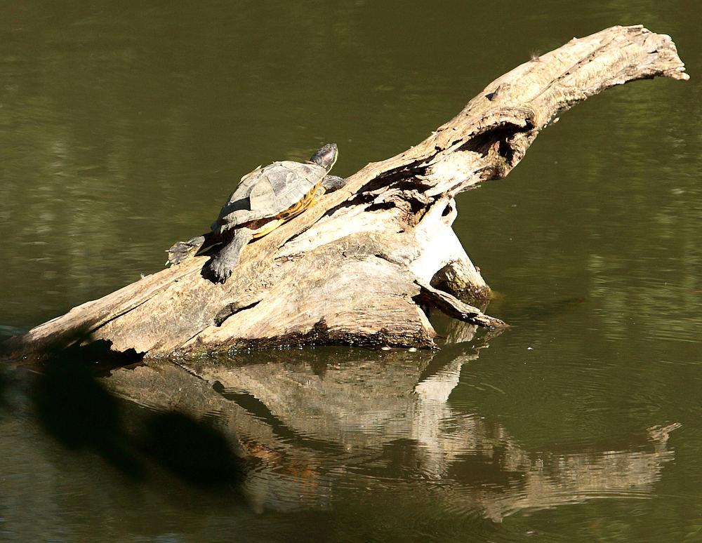 Wasserschildkröte beim seltenen Sonnenbad
