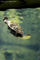 Wasserschildkröte