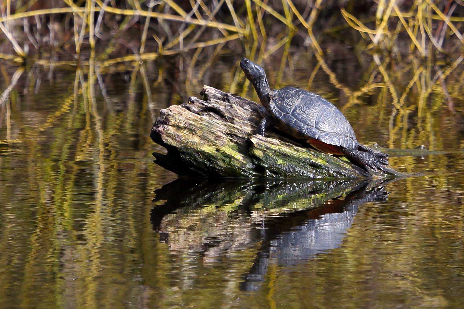 Wasserschildkröte im Bruchsee