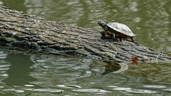Wasserschildkröte sonnt sich im Ententeich des Hammer Tierparks