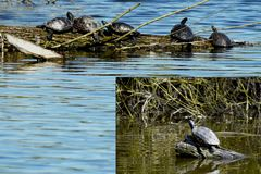 Wasserschildkröten genießen die Frühlingssonne