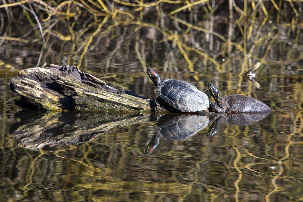 Wasserschildkröten im Bruchsee (Heppenheim) (I)
