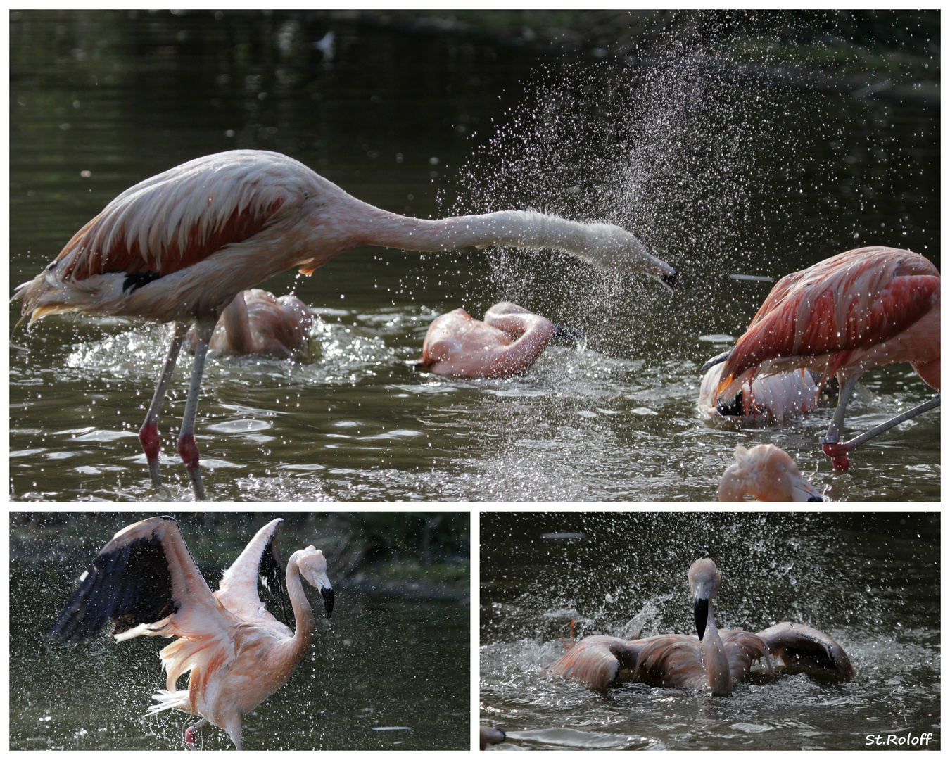 Wasserschlacht unter Flamingos