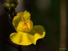 Wasserschlauch Blüte