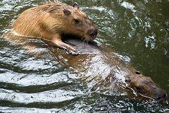 Wasserschweine in Aktion