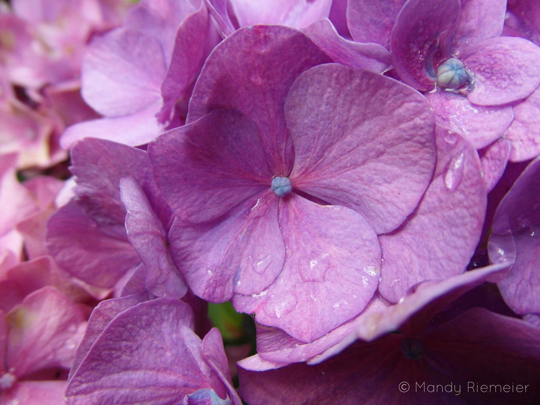 Wassertropfen auf einer lila Hortsensie