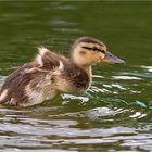 Wasservögel #1
