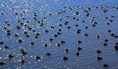 Wasservögel am Bodensee