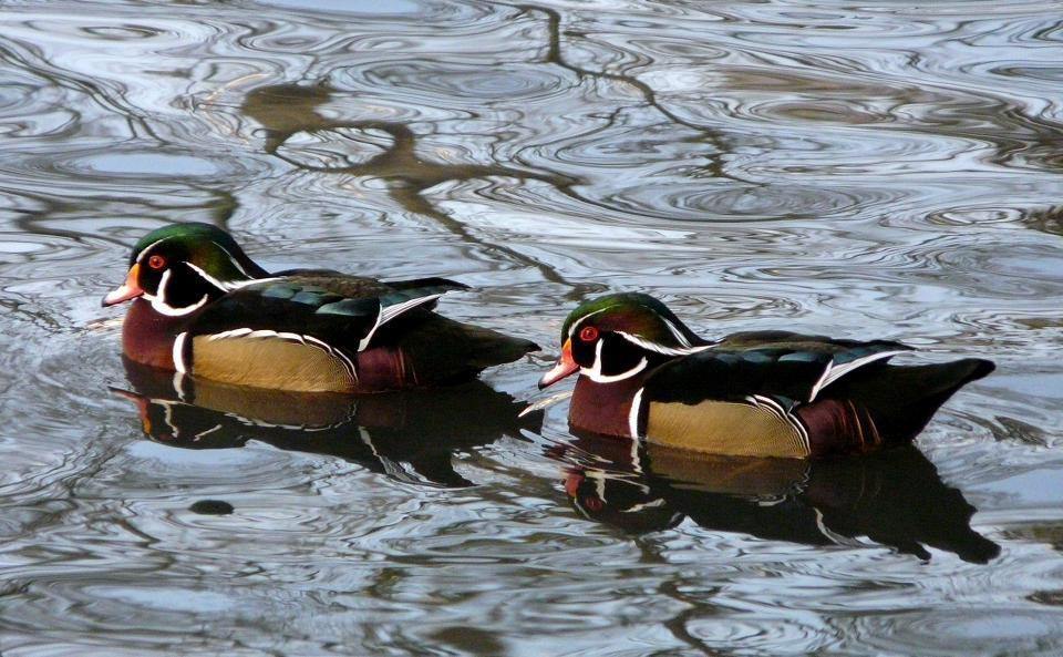 Wasservögel - Enten
