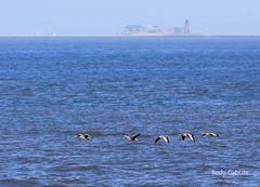 Wasservögel in der Halligwelt