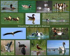 Wasservögel rund um den Bodensee