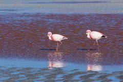 watende Flamingos