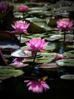 Water lilies of Normandy