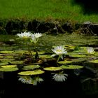 Water Lily.