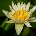 Water lily #10