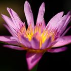 Water lily #11