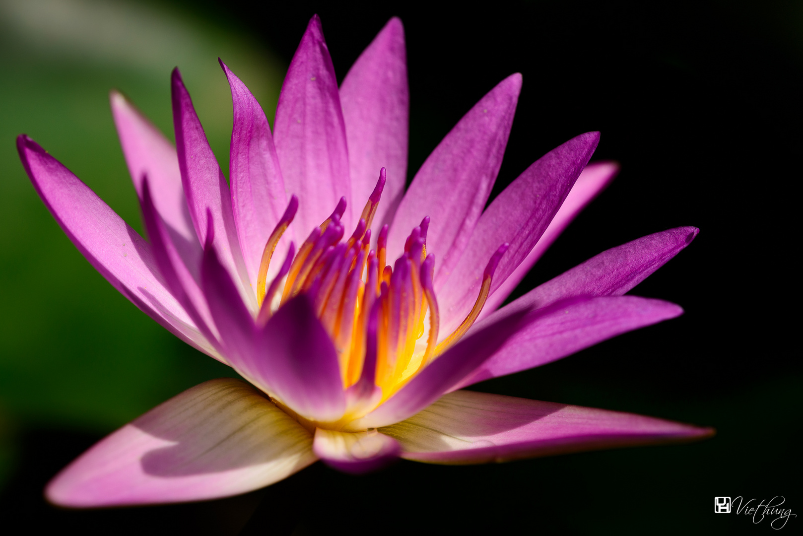 Water lily #6