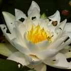 ... water lily
