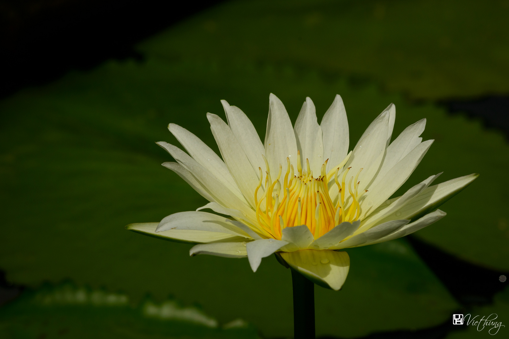 Water lily #7