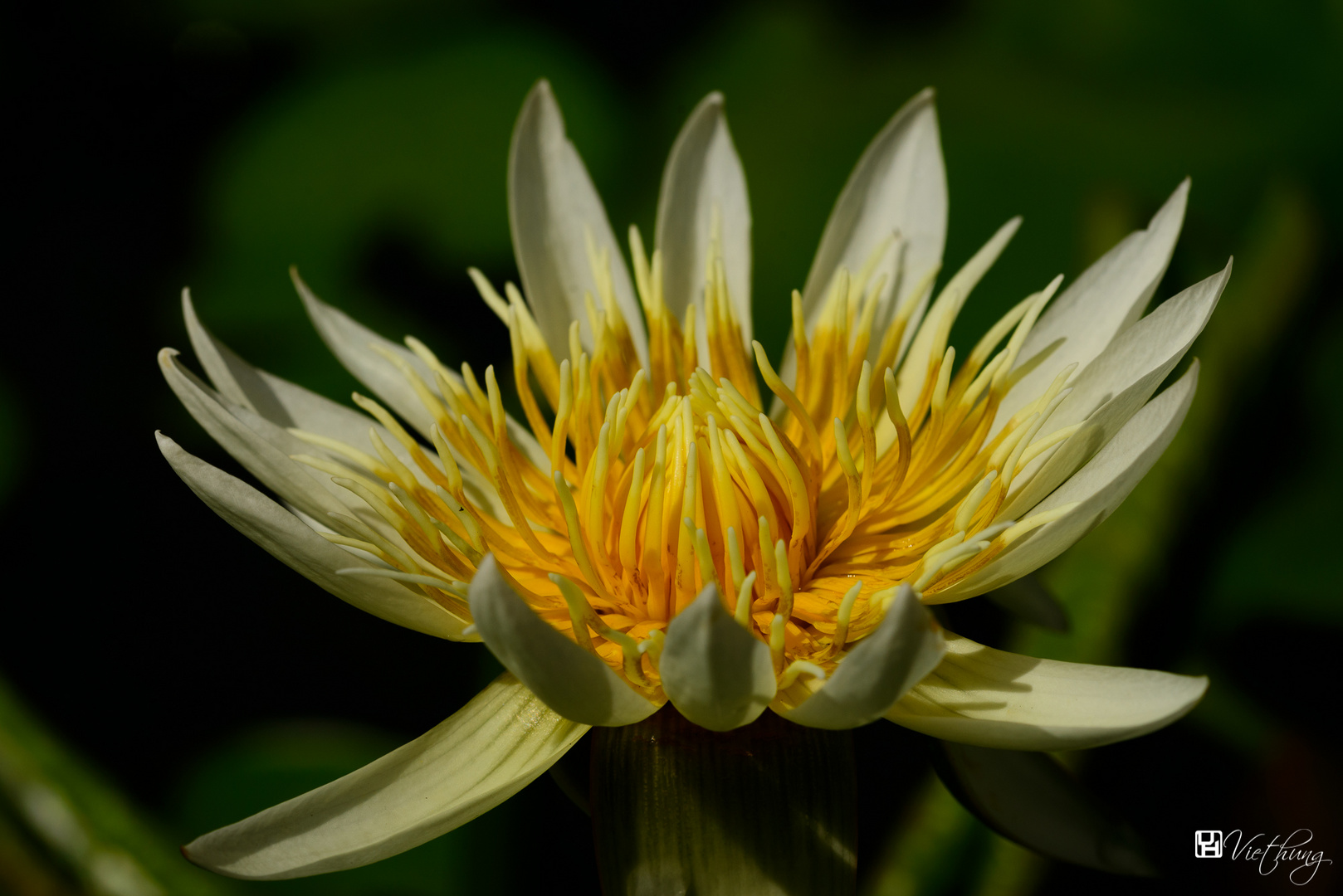 Water lily #8