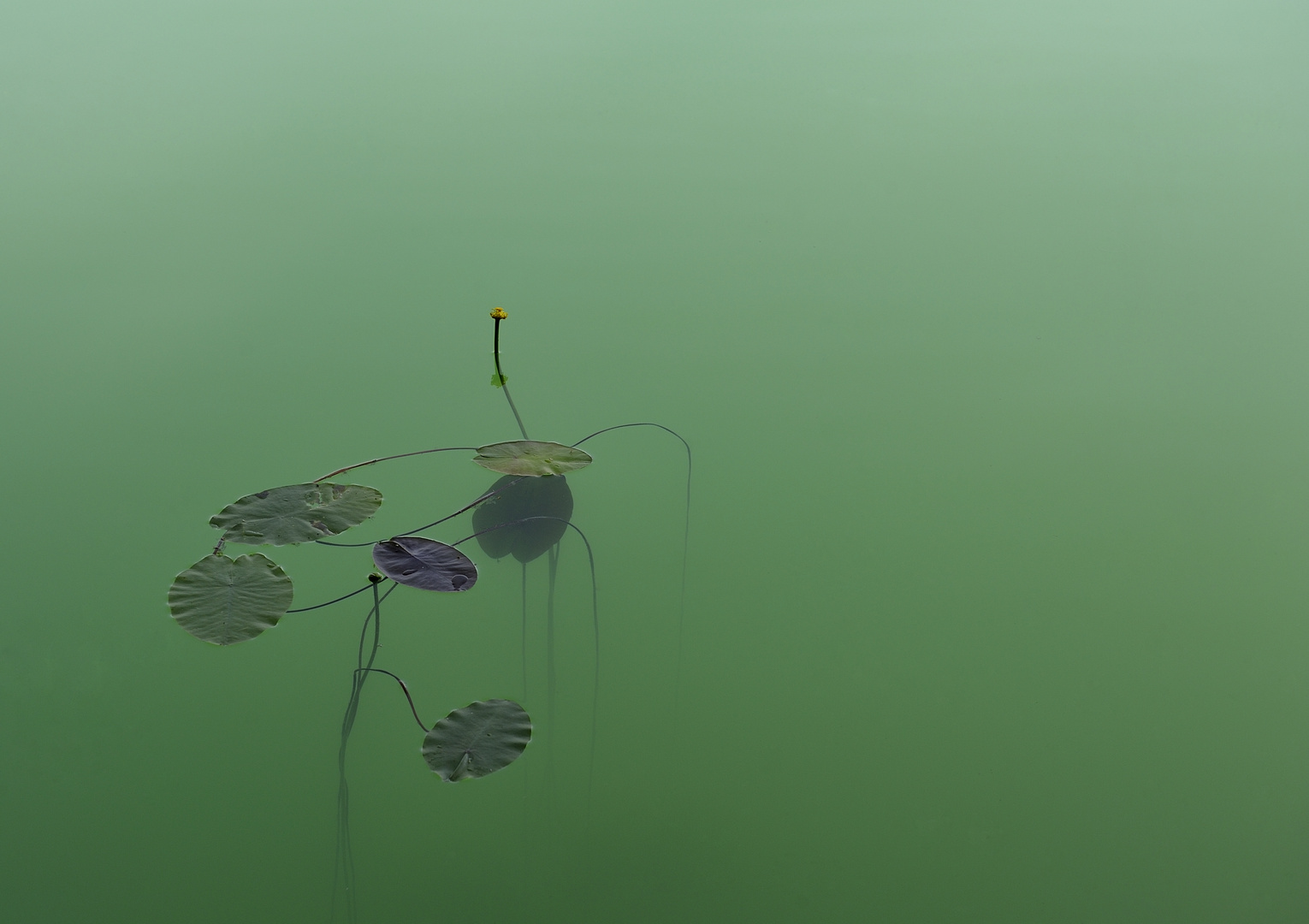 Water lily in green