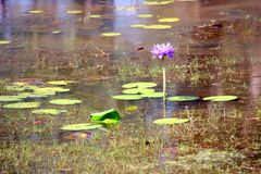 Water Lily - solo