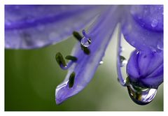 waterdrops on the blue flower