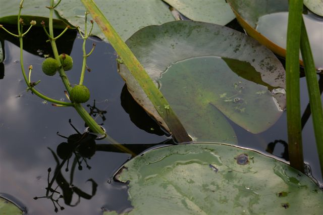Waterlily on a cloudy day
