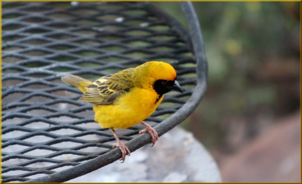 * weaver bird *