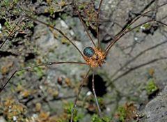 Weberknecht: Höhlentier (Amilenus aurantiacus). - L'Opilion, une araignée à longues pattes...