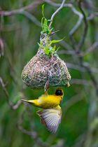 Webervogel bereitet sein Nest