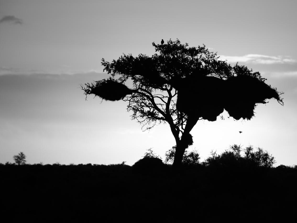 Webervogelnest im Sonnenuntergang