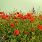 weekend with poppies