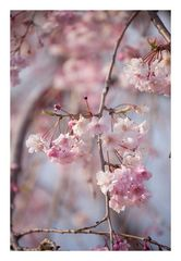 Weeping cherry tree #1
