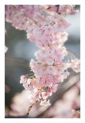 Weeping cherry tree #2